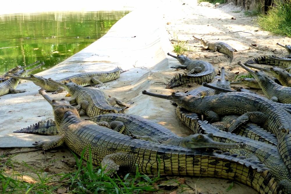 chitwan-crocos.jpg