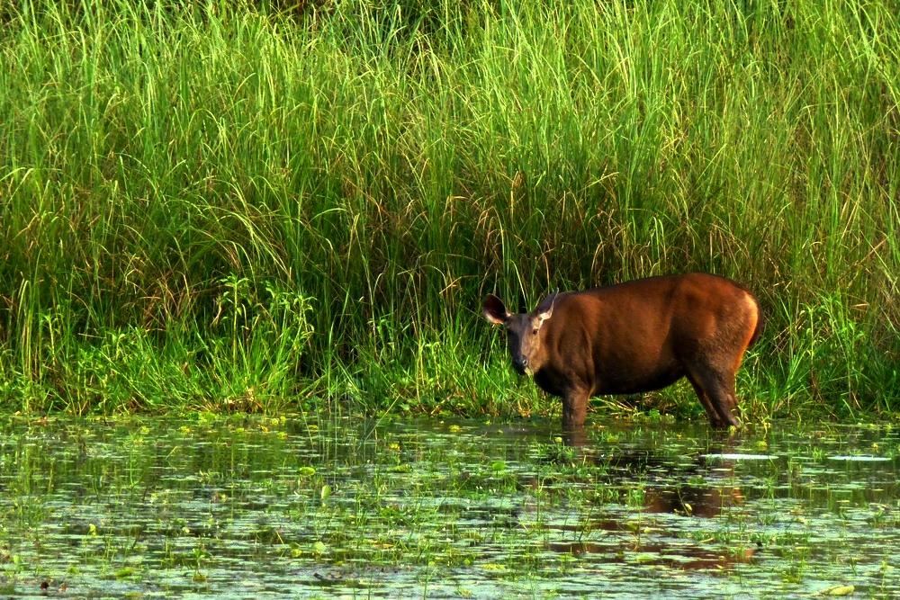 chitwan-deer2.jpg