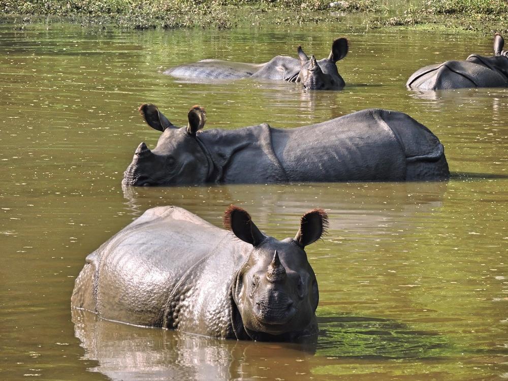 chitwan-rhinos.jpg
