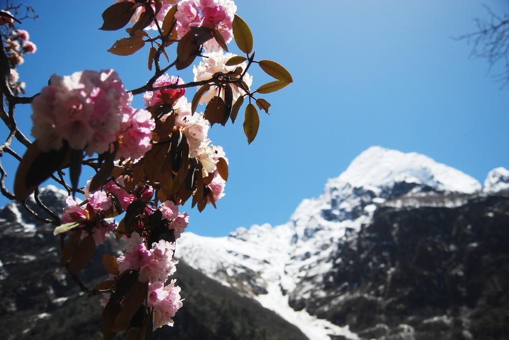 Manaslu_Rhododendron_AANepal.JPG