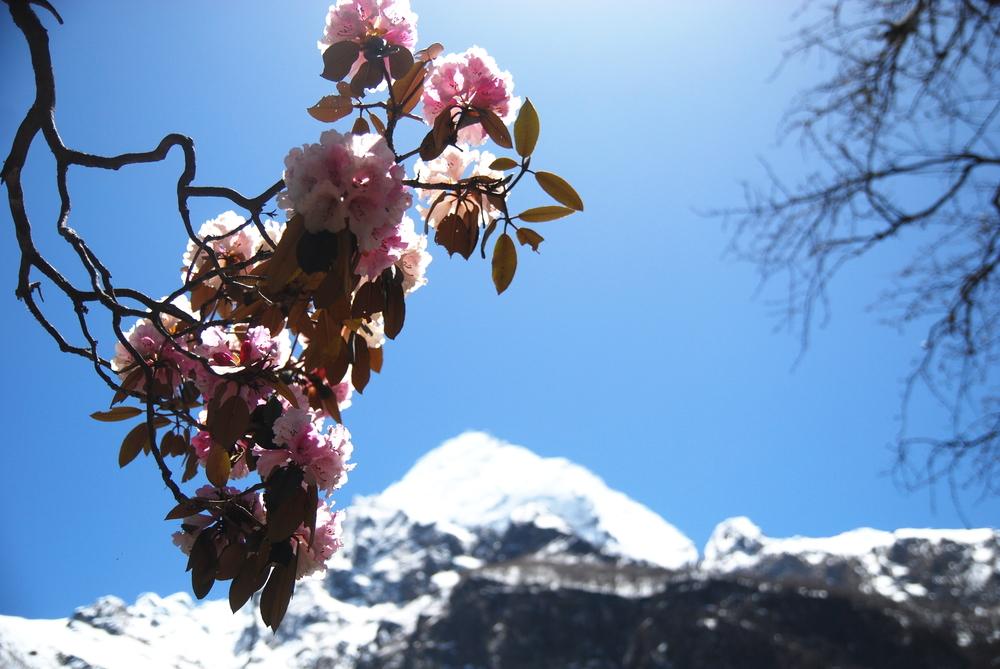 Manaslu_Rhododendron2_AANepal.JPG