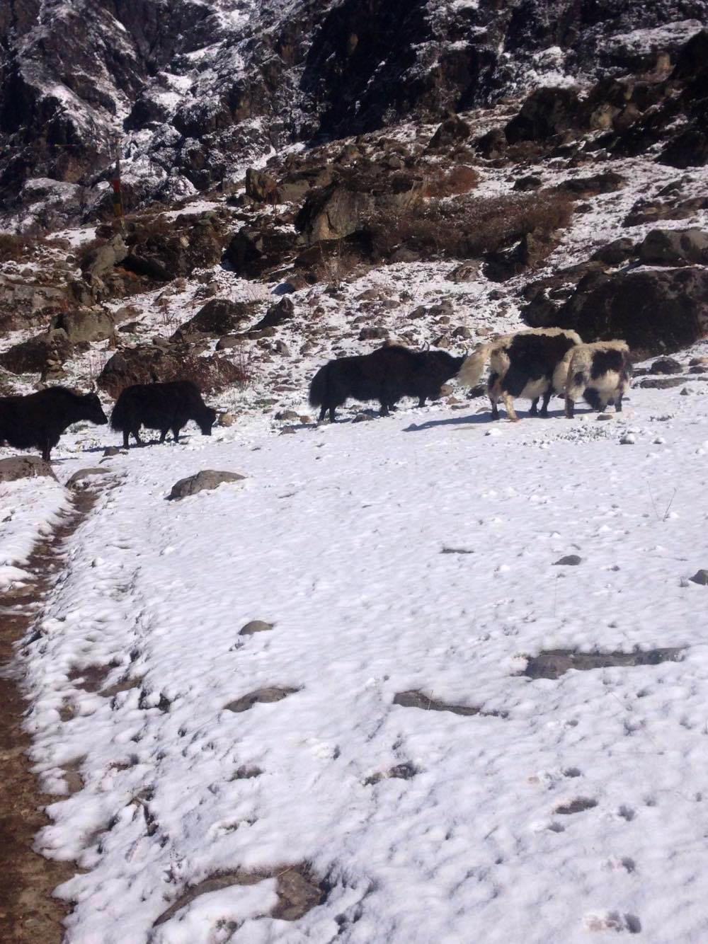 The famous yaks  Langtang Valley Trek