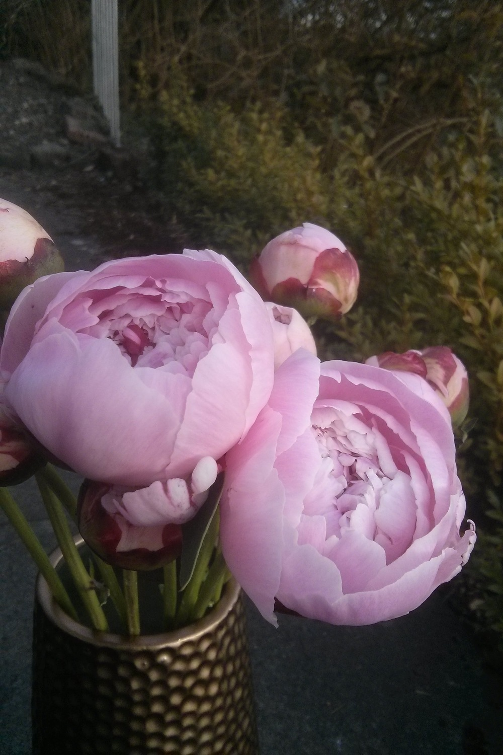 Coaxing peonies open in the sun