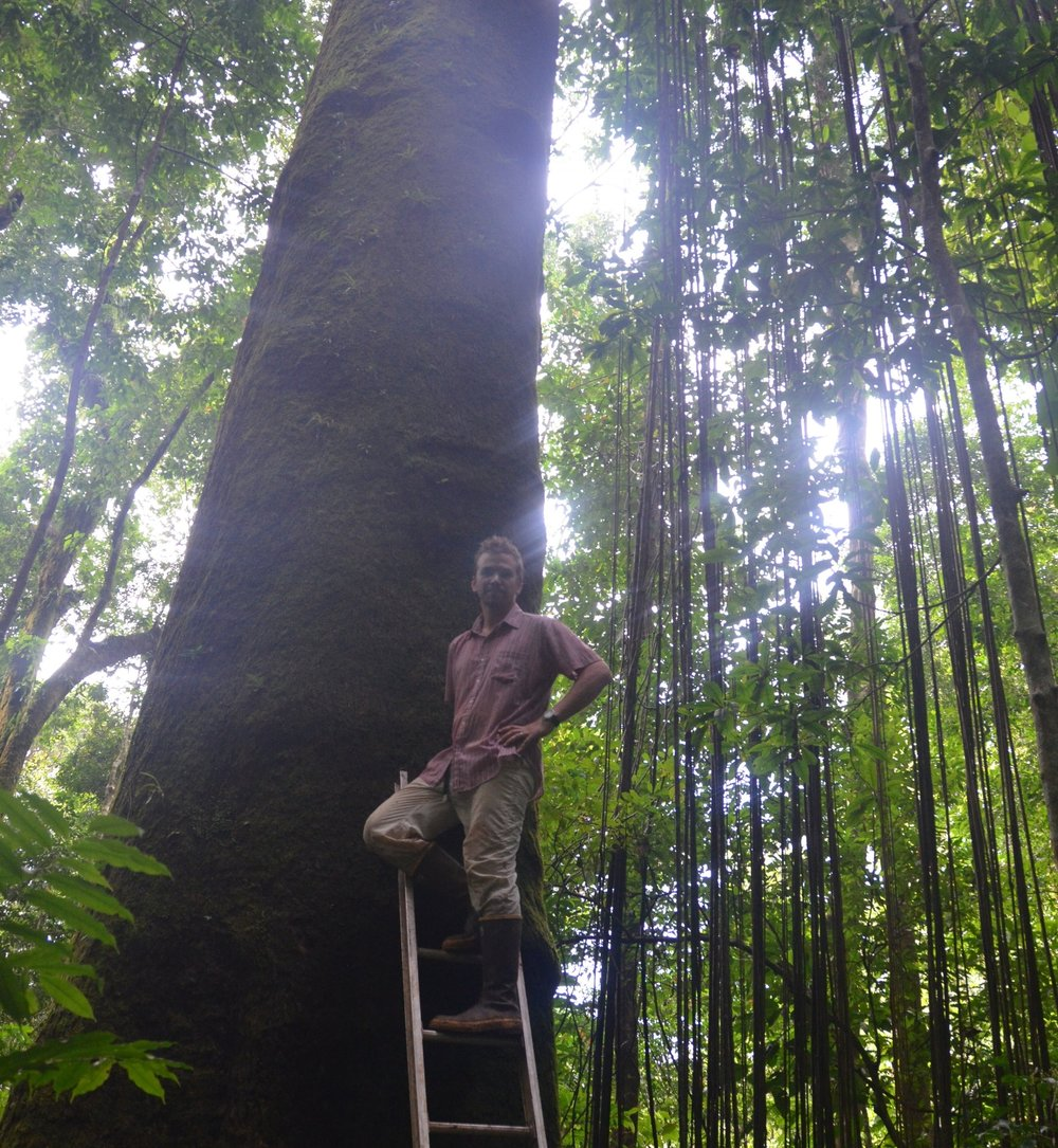 Philip Taylor measures the diameter of an Ajo tree on the Osa Peninsula, Costa Rica. The Ajo (Caryocar costaricense) is endemic to this region and displays remarkable stature and lifespan. It's the Sequoia of tropical rainforests.