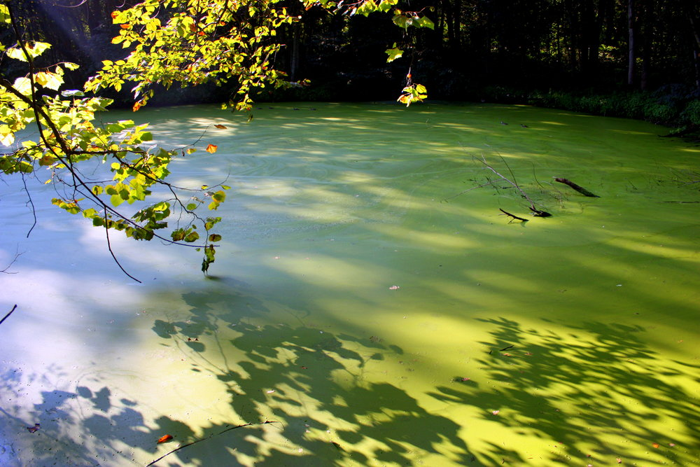Does this picture look familiar? Most streams and ponds these days are clogged with algae in the spring and summer.