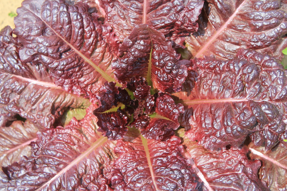 SL Red Lettuce.JPG