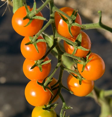 SUNGOLD*  Small Orange Cherry Tomato