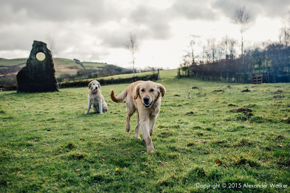 A farm dogs on Old Chapel Farm