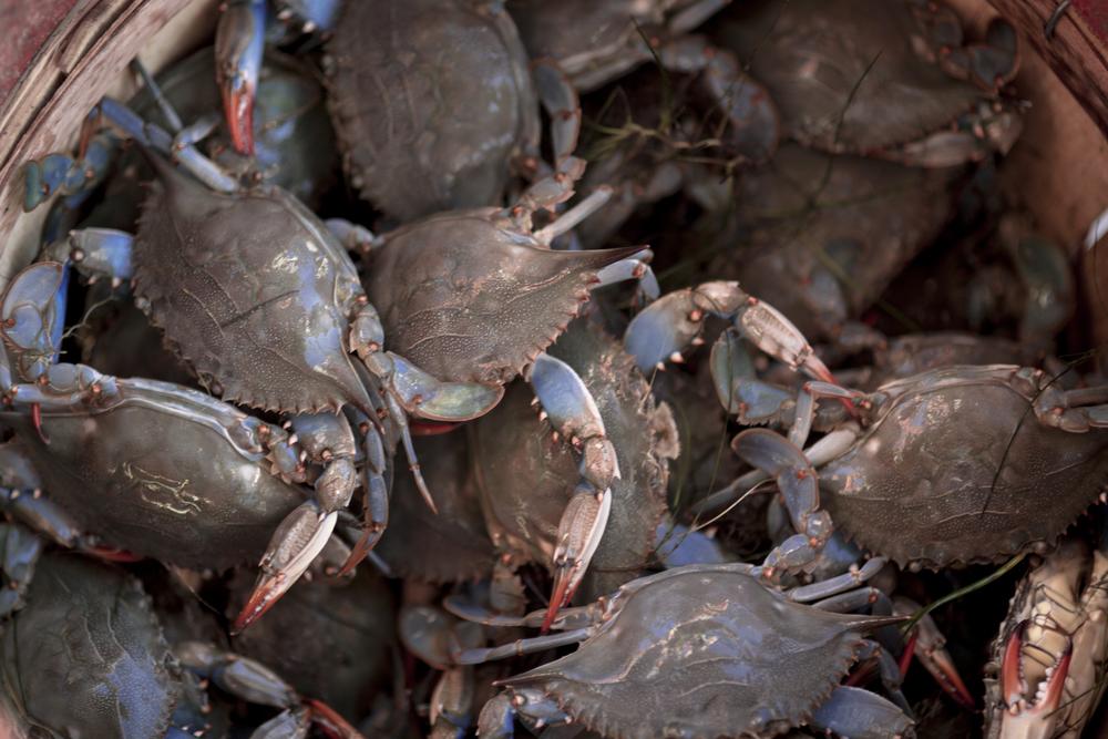 CrabsInBasket_Z1A0206.jpg