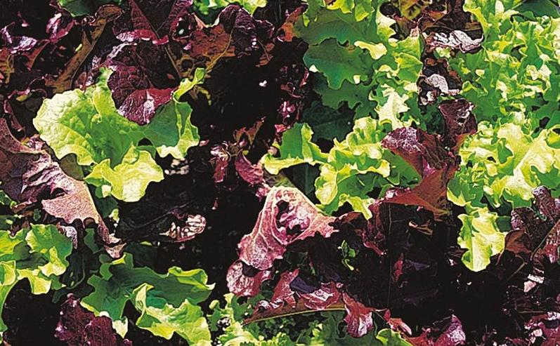 Lettuce is no longer boring.