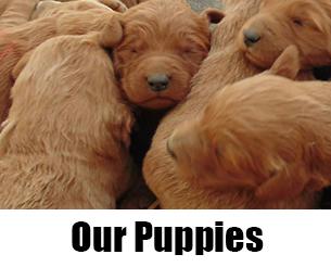 Batch of Puppies