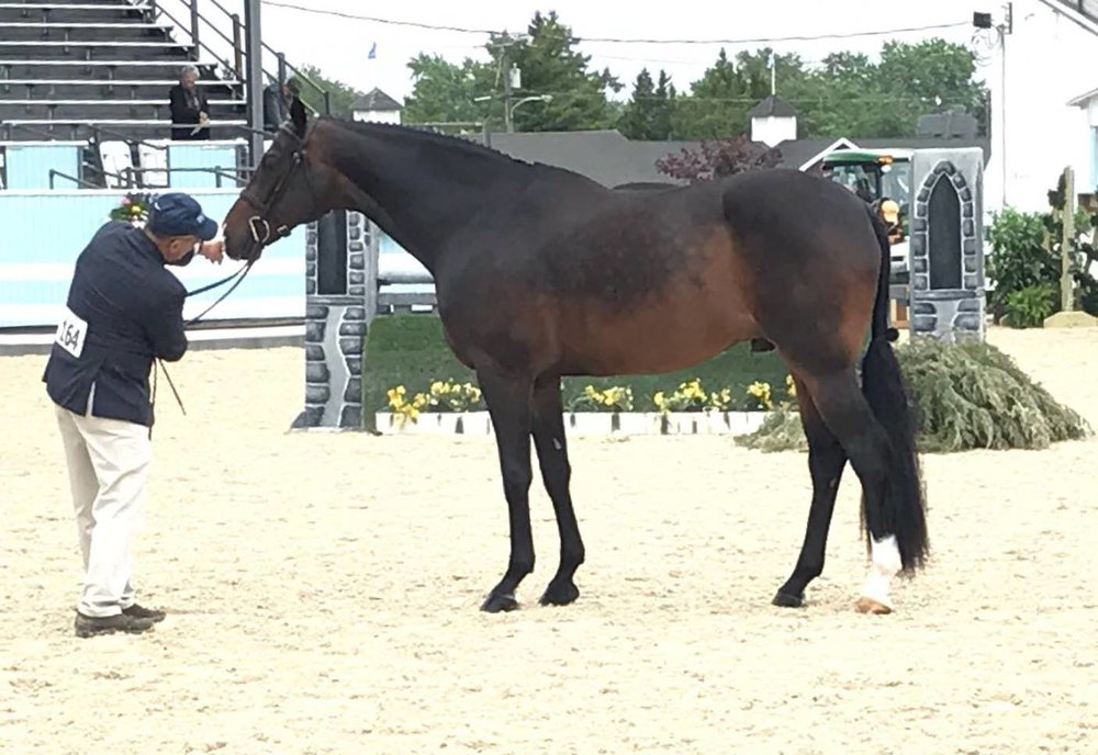Carleton Brooks showed Jennifer Alfano's Candid in Devon's High Performance Conformation model class.