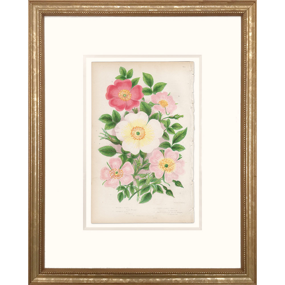 Anne Pratt Plate 71b Rose, Briar, Dog Rose - Framed print