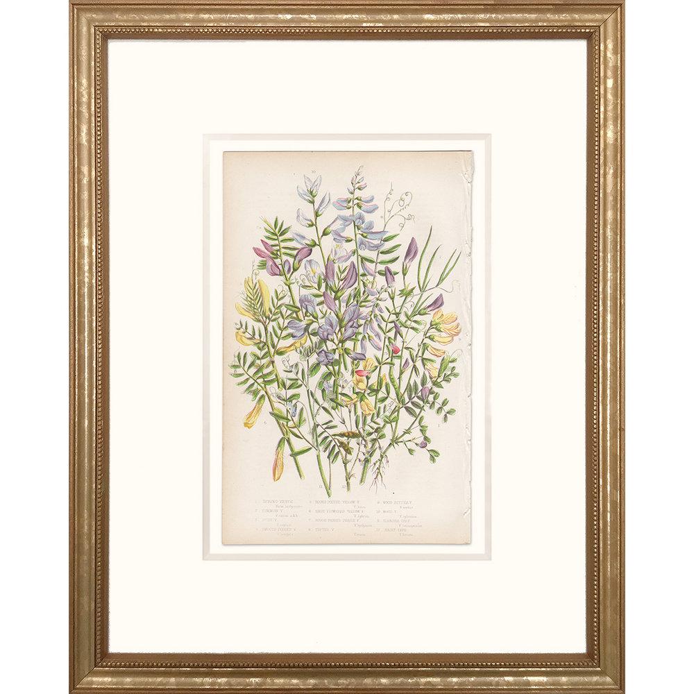 Anne Pratt Plate 63 Vetch, Tare - Framed print