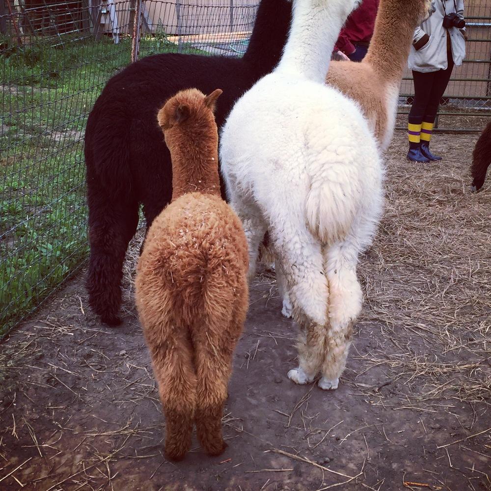 Fluffy alpaca butts!