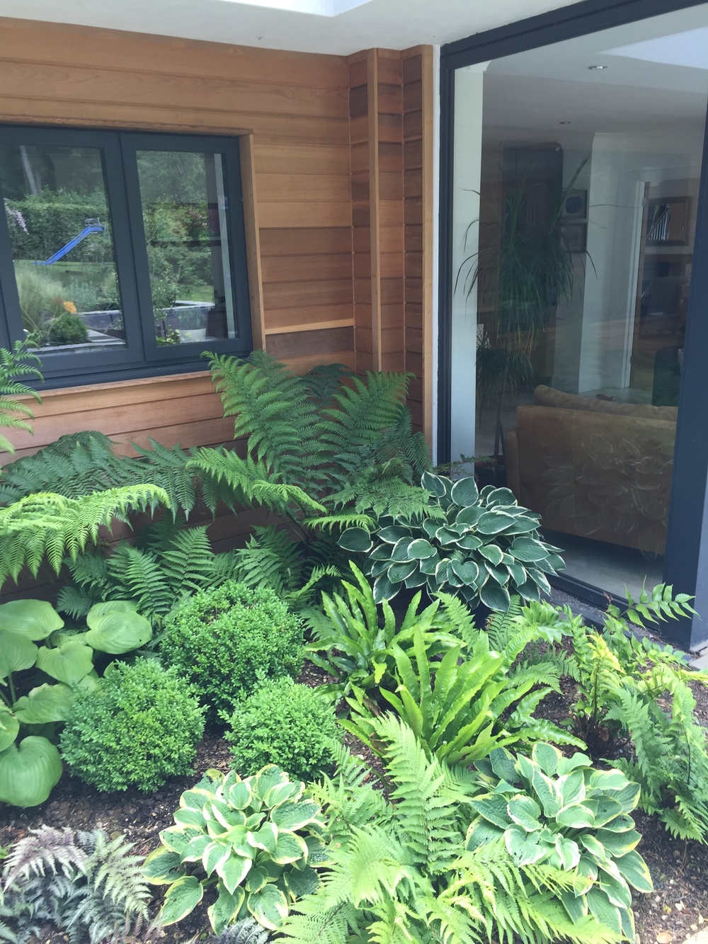 Shady corner - lush ferns and hostas with box balls