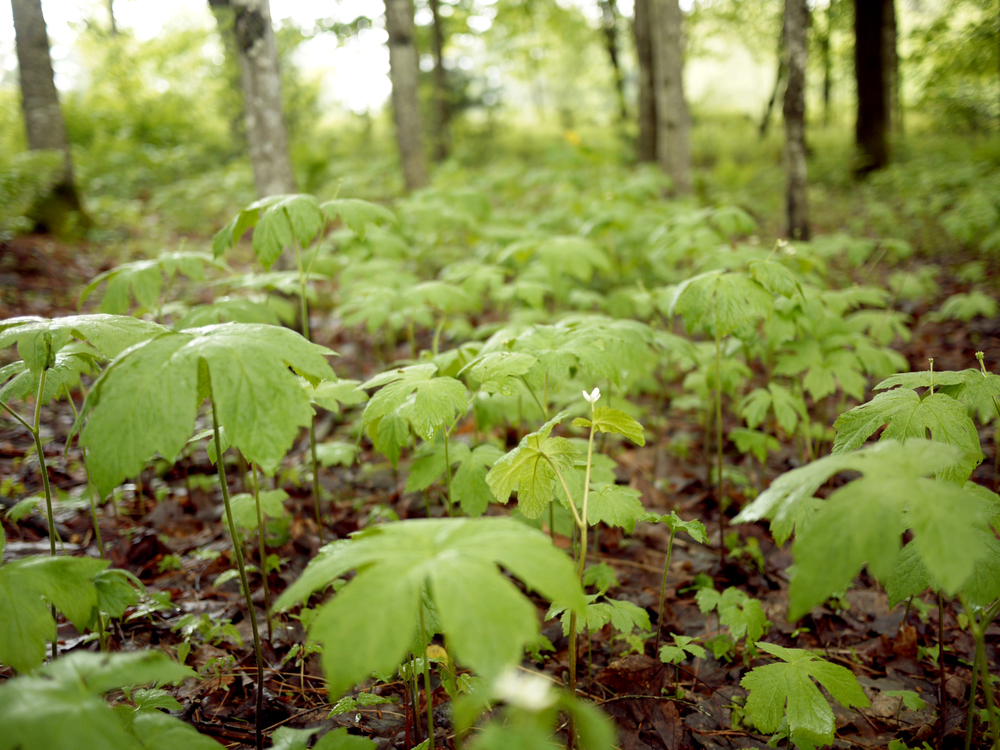 05-20 goldenseal woodland beds.jpg