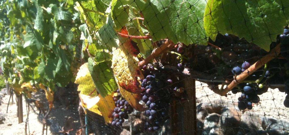Vineyard 3.jpg