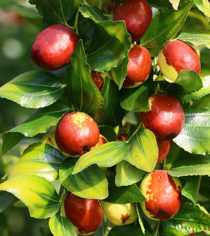 1787_10-Amazing-Benefits-Of-Jujube-Ber_shutterstock_494630479.jpg