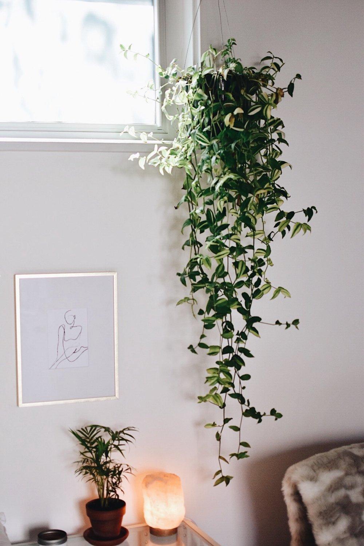 Wandering Jew (Inch Plant)
