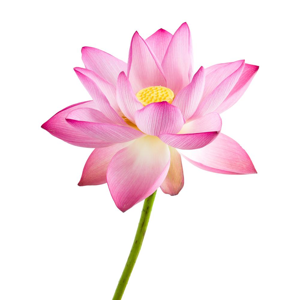 lotus_3.jpg