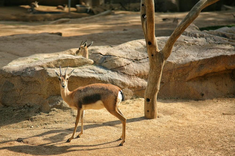 Antelope.jpg