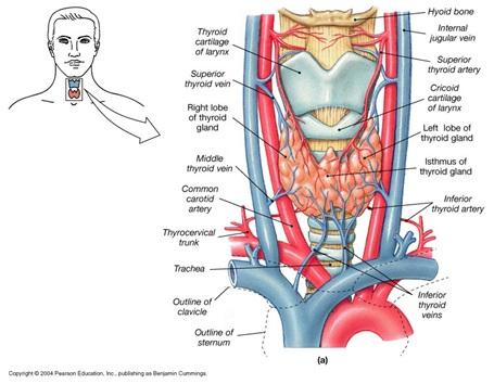 Human anatomy thyroid gland