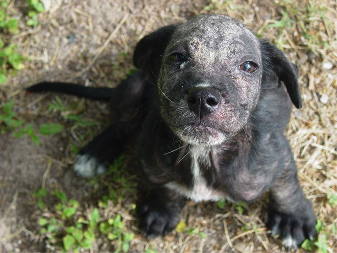 Puppy with Demodex (Red Mange)
