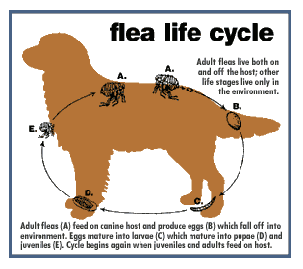 Flea Allergy Part 1 3 Scary Flea Facts You Might Not Know