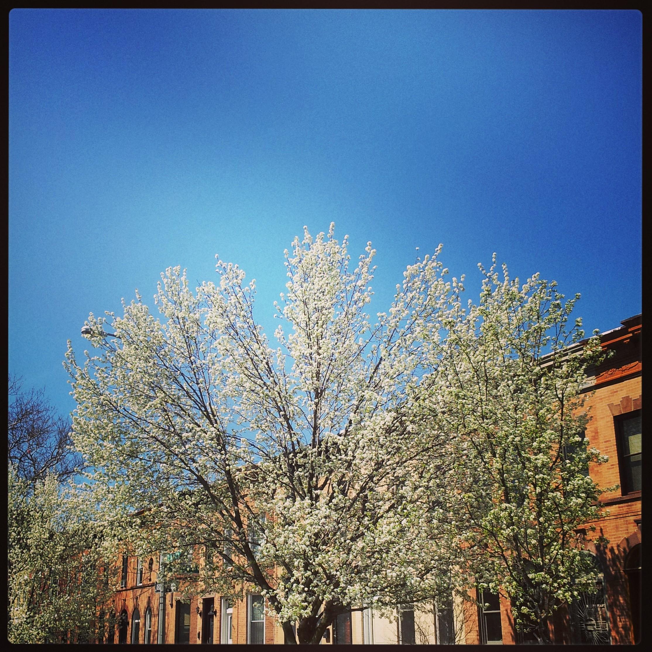 semen trees