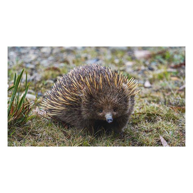 E C H I D N A⠀⠀⠀⠀⠀⠀⠀ ⠀⠀⠀⠀⠀⠀⠀⠀⠀⠀⠀⠀ ⠀⠀⠀⠀⠀⠀⠀⠀⠀⠀⠀⠀⠀⠀⠀⠀⠀⠀⠀⠀⠀⠀⠀⠀ ⠀⠀⠀⠀⠀⠀⠀⠀⠀⠀⠀⠀ ⠀⠀⠀⠀⠀⠀⠀⠀⠀⠀⠀⠀ ⠀⠀⠀⠀⠀⠀⠀⠀⠀⠀⠀⠀ ⠀⠀⠀⠀⠀⠀⠀⠀⠀⠀⠀⠀ ⠀⠀⠀⠀⠀⠀⠀⠀⠀⠀⠀⠀ ⠀⠀⠀⠀⠀⠀⠀⠀⠀⠀⠀⠀ Found this little one on the way Cradle Mt.⠀⠀⠀⠀⠀⠀⠀⠀⠀⠀⠀⠀ ⠀⠀⠀⠀⠀⠀⠀⠀⠀⠀⠀⠀ ⠀⠀⠀⠀⠀⠀⠀⠀⠀⠀⠀⠀ #sony #sonyalpha #A7RIII #alpha #alphacollective #Echidna #Aussie #AussieAs #DiscoverTasmania #TassieStyle  #tassie #TassicPics #TasmainaianParks #SeeAustralia #TakeMeToAustalia #tasmania #hobartandbeyond #Tassmainainstagram #instatasmania #discoveraustralia #exploretasmania #ig_down_under #exploreaustralia #ig_australia #australiagram #wildanimals #wildlife #animallovers #wildlifephotography @tourism_au @australia @tasmania