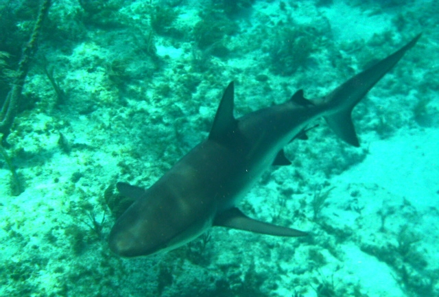 Caribbean Reef Shark in Key West, Florida.