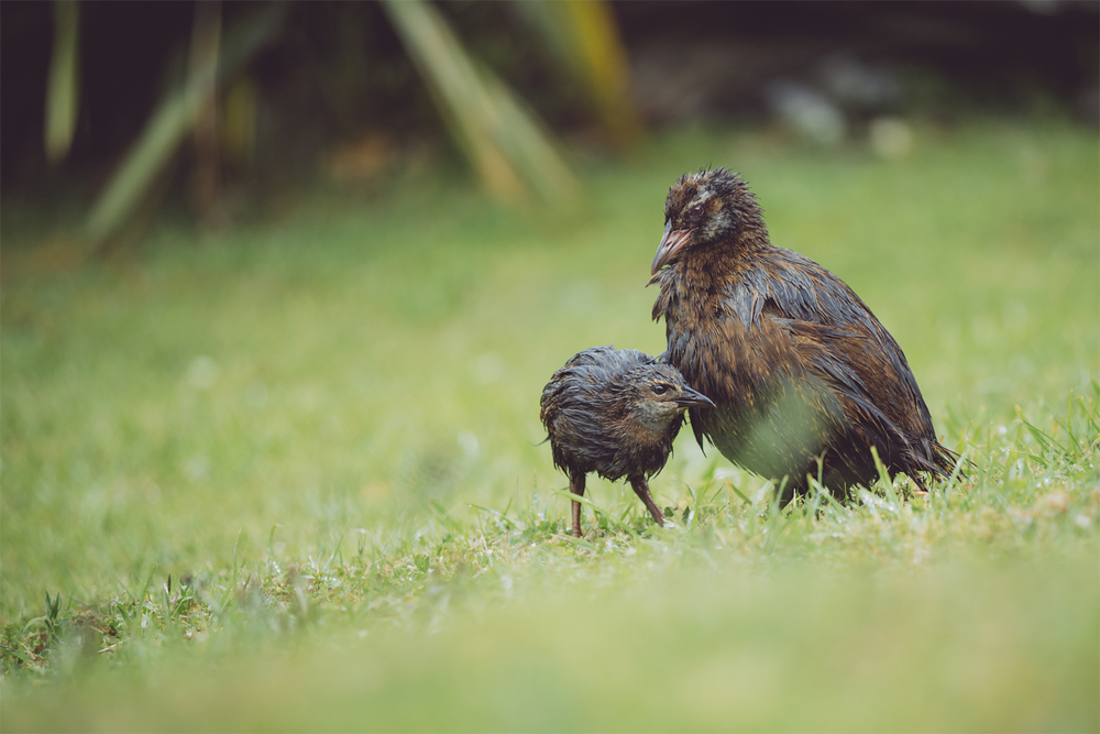 Kapiti Island's weka have a mixture of North Island and Western weka genes. 'Hybrid vigour' may be part of the reason that this population is doing so well, but since they don't represent one of four weka subspeciesthey won't be translocated to boost numbers elsewhere, remaining here to live out their days instead.Not a bad fate if you ask me!