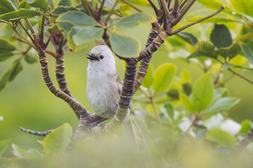 Popokatea (whitehead)