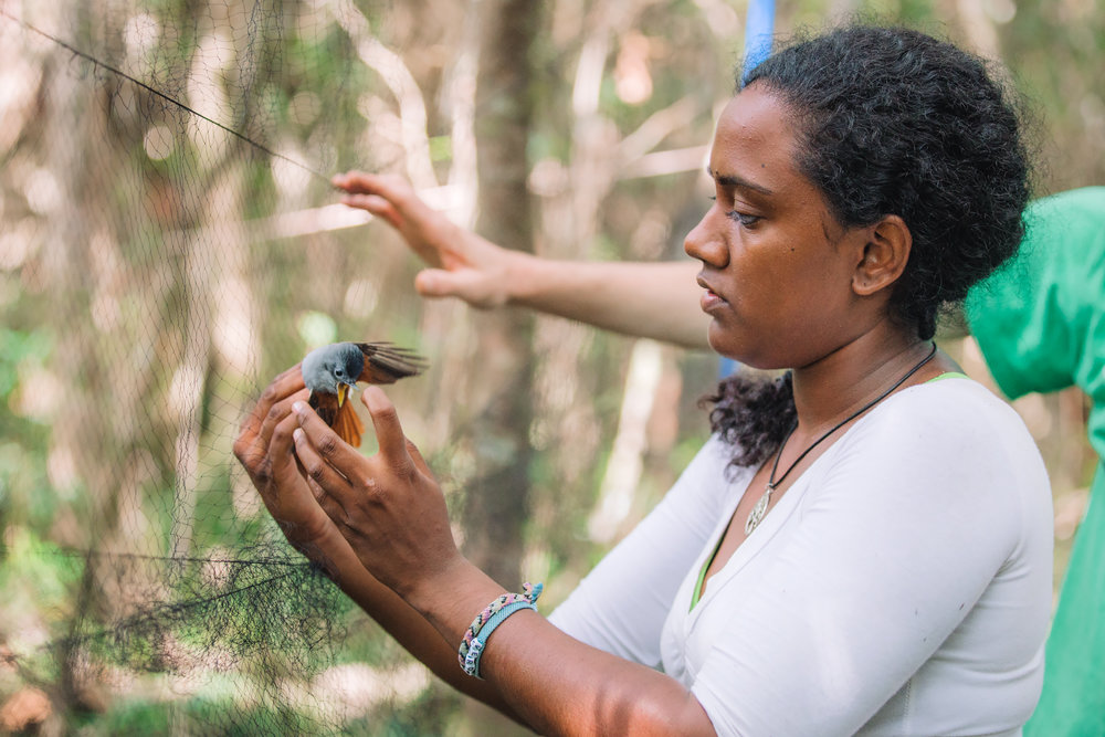 Veronique Couttee extracting a female Mauritian Paradise Flycatcher.