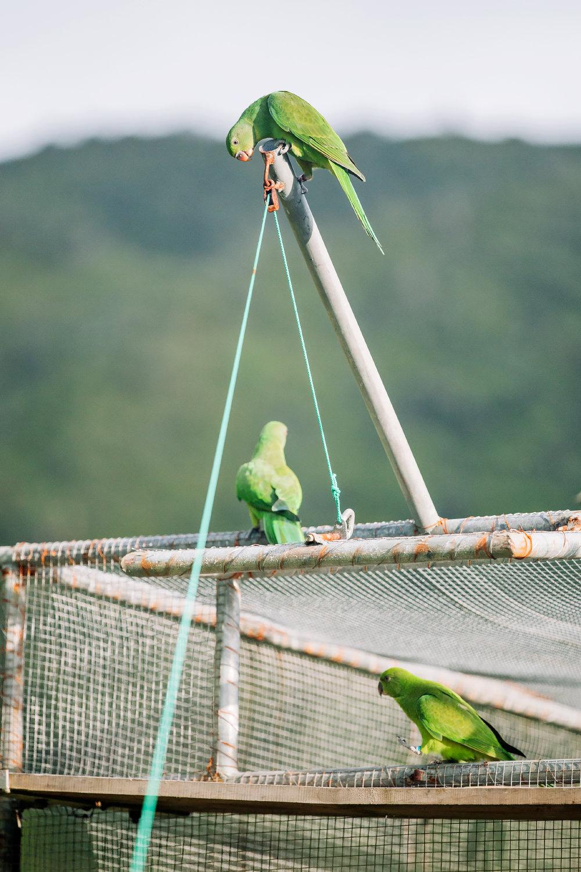Echo parakeets tasting freedom.