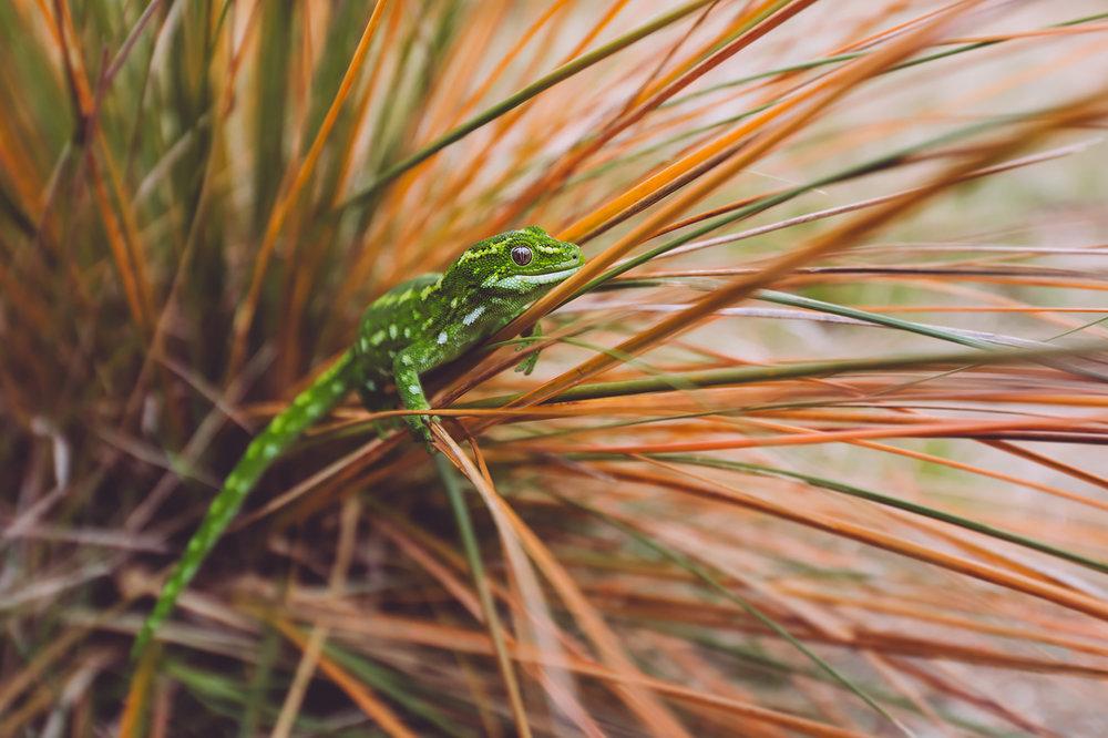 Jewelled Gecko,  Naultinus gemmeus