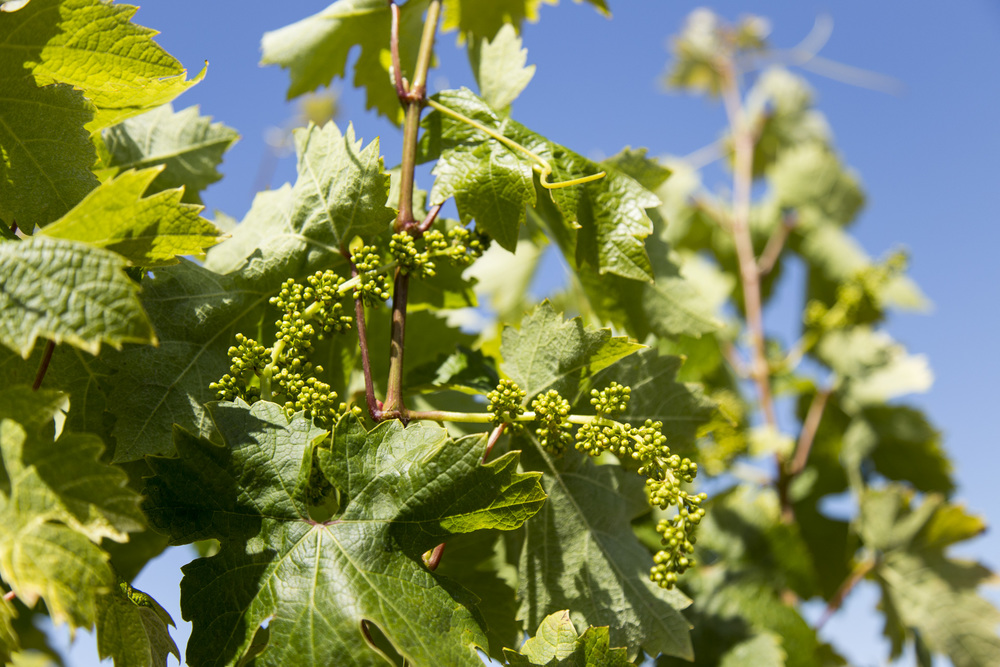 Checking in on old-vine Zinfandel development, Radio-Coteau Estate Vineyard, May 2015
