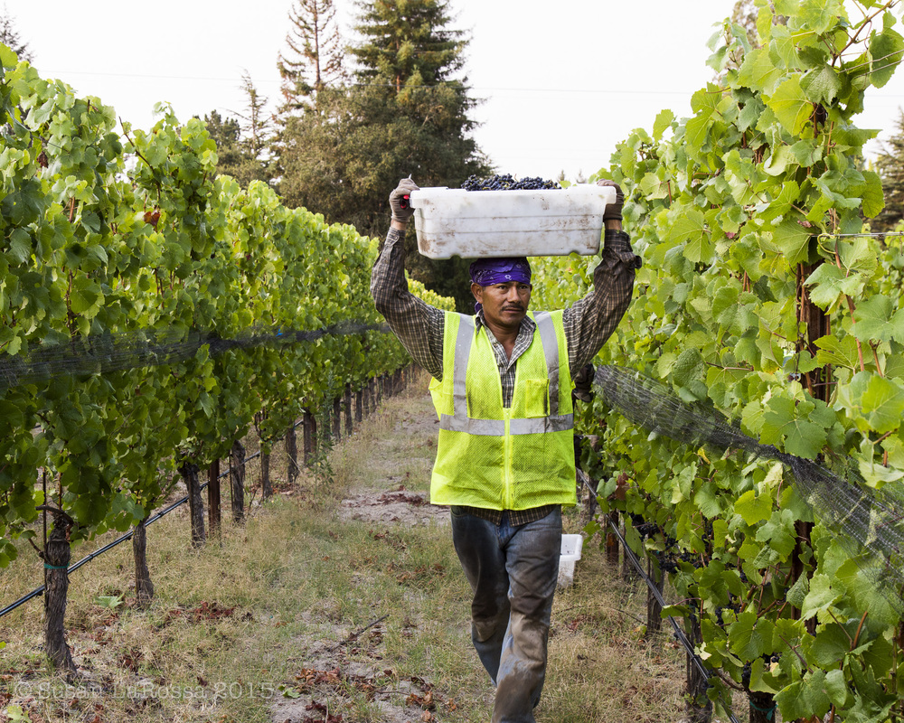 Picking Alberigi Vineyard, August 15, 2015