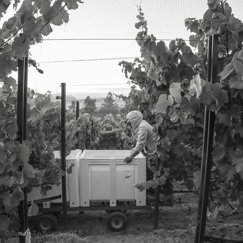Tilton Hill Vineyard pick, September 2, 2015
