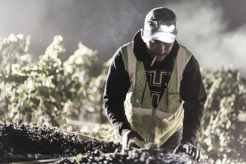Picking Goff-Whitton Vineyard, September 7, 2015