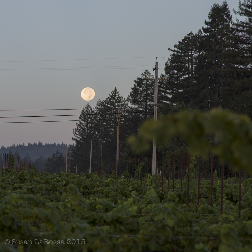 Picking the Radio-Coteau estate vineyard under a setting full moon