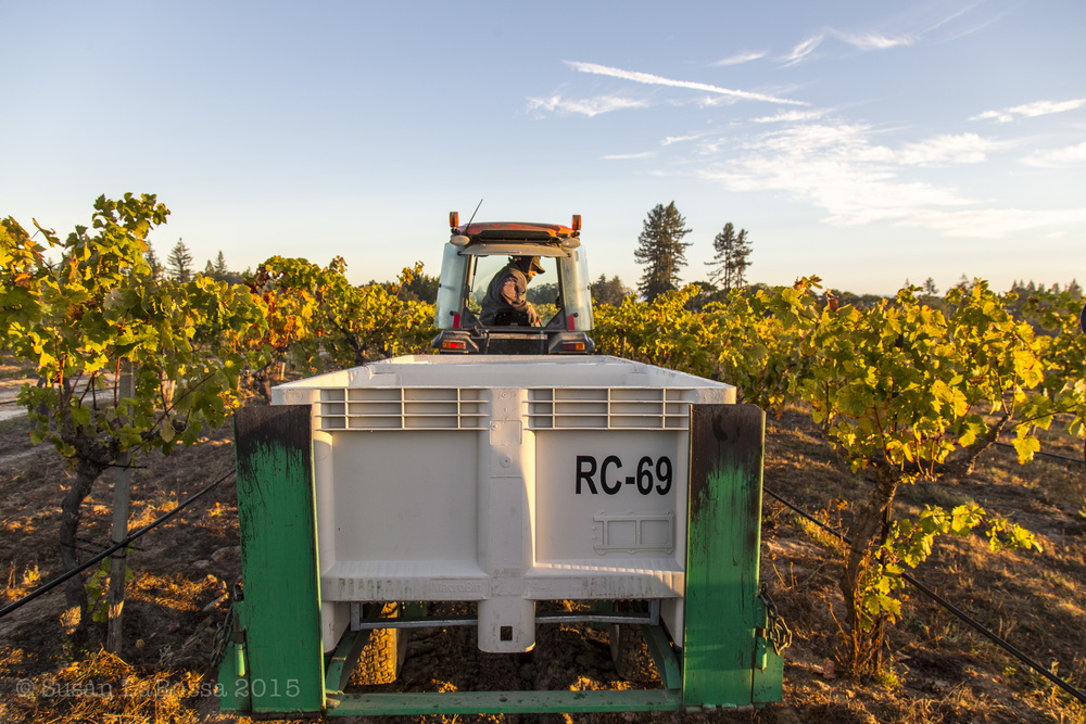 Harvest fall colors at Radio-Coteau estate vineyard