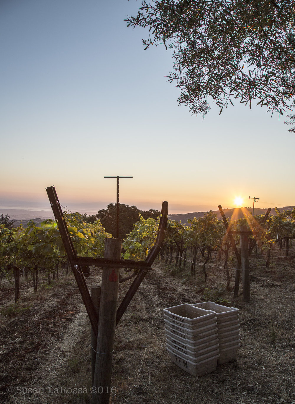 Rapley Trail Vineyard at dawn, September 7, 2016