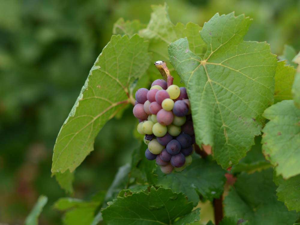 grapes-of-burgundy.jpg