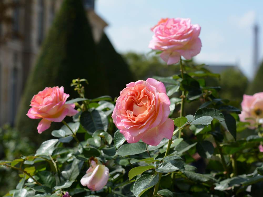 rodin-museum-roses.jpg