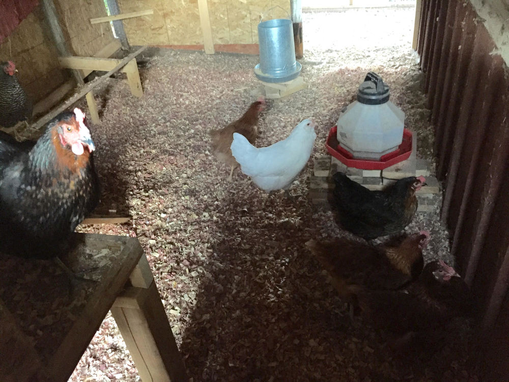 Our chicken coop was originally built in 1918 with the building of our original home in Historic Greeley, Colorado. Since then it was turned into a storage shed, work barn, a wood room and just recently back into a chicken coop. We are all about restoration =)