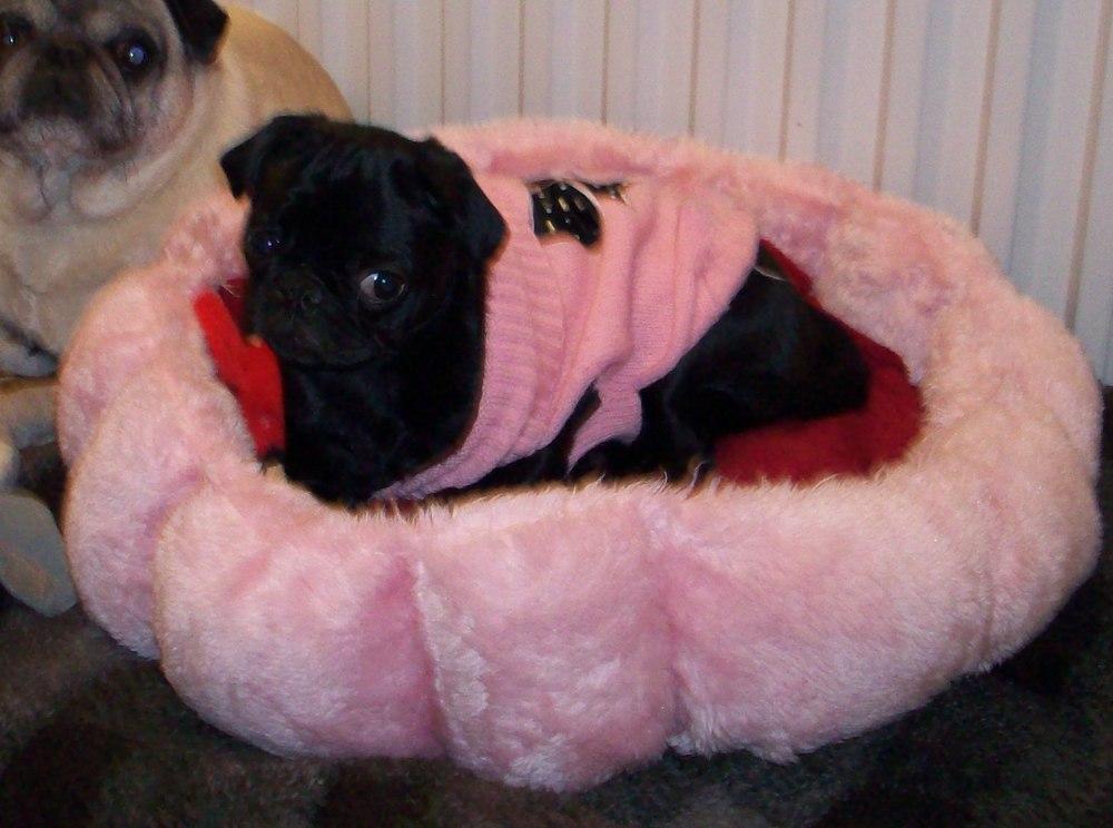 Pug in Pink.jpg
