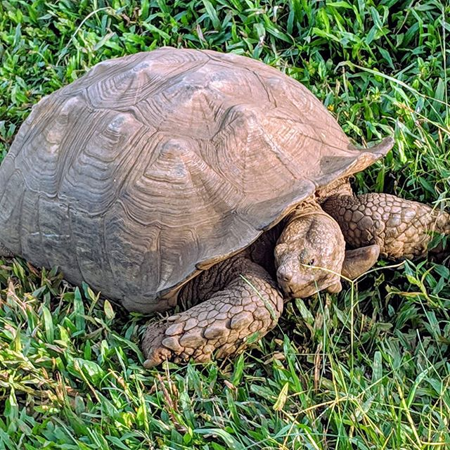 Ran across this big boy in an animal Sanctuary. Fairly young at only 120 years old. #tortoise #animals