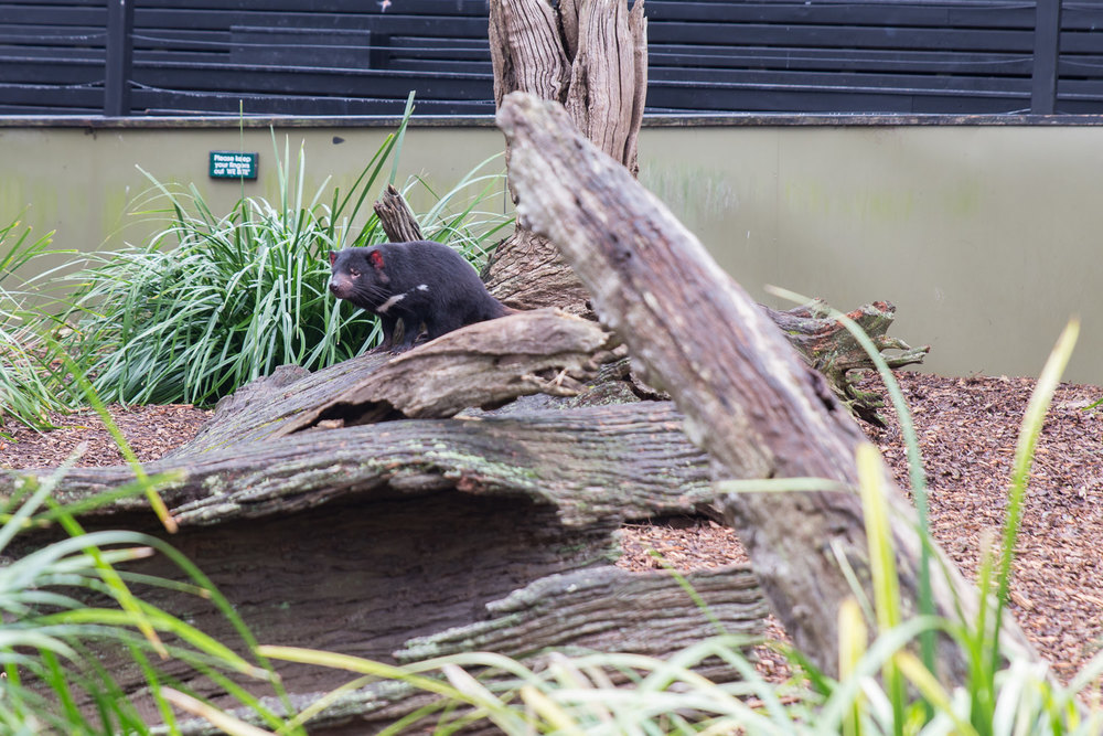 The Tasmanian Devil was out and running around